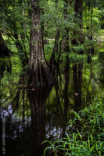 usa tree verde green us flora nikon louisiana pantano swamp árbol nikkor wetland d4 humedal maurepas livingstonparish 2470mmf28g headofisland 201207216332