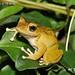 柯丁誌_樹蛙科的褐樹蛙