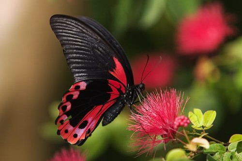 rose-shaded-butterfly