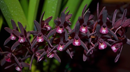Cymbidium Brown Beauty
