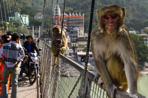 Monkeys on the bridge
