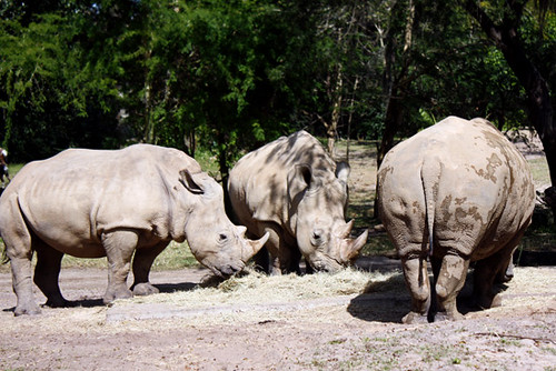 AK_SafariRide_Rhinos