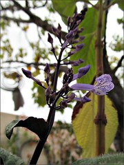 Mona Lavender Plectranthus 1