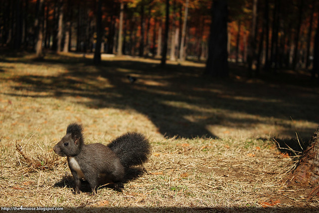 Squirrel at Nami Island