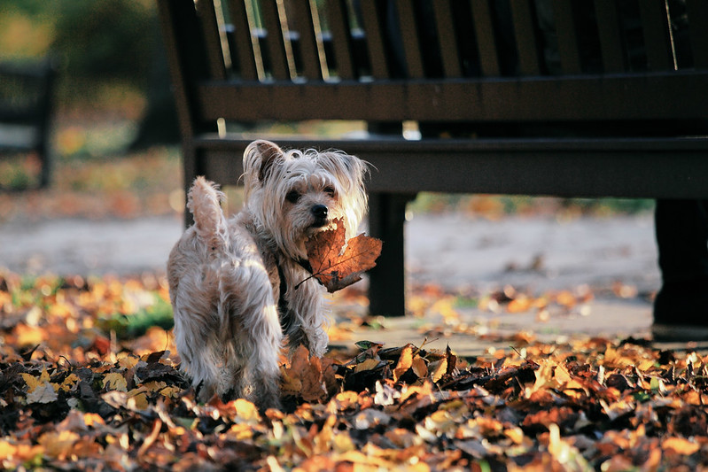Dog likes autumn leaves.