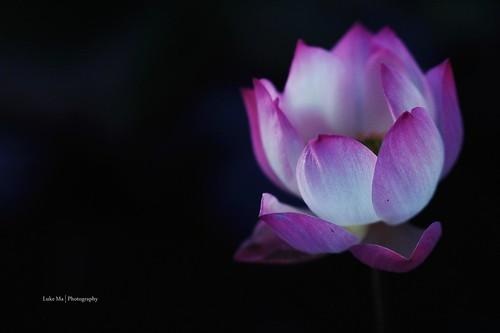 Lotus, Taipei, Taiwan - 無料写真検索fotoq