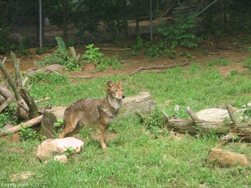 Alert red wolf by Coyoty