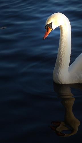 A Swan in November