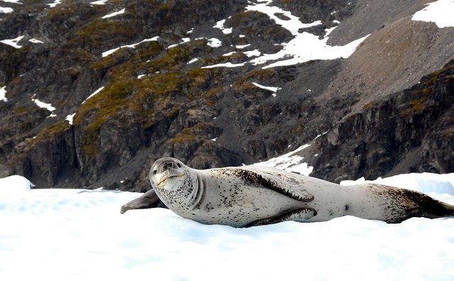 Hark! Who goes there? A Leopard seal in Ciera Cove in Antarctica