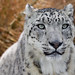 "DECEMBER 2012 CPM Art Challenge Photo ""Snow Leopard"" #1212 by COLORED PENCIL magazine"