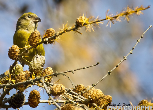 Female Red Crossbill by Ricky L. Jones Photography