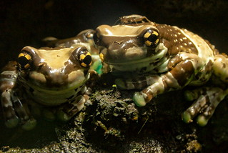 Milk Frogs at The Deep IMG_6463