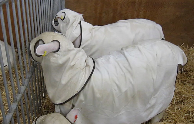 Sheep with custom covers over them to protect them for show