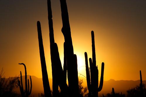 park sunset arizona cactus southwest silhouette landscape desert tucson national saguaro saguaronationalpark sonorandesert goldenhour joeparks tucsonmountaindistrict pwlandscape parksjd