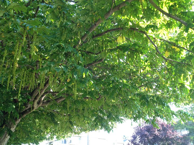 Large tree with hanging tassel inflorescences