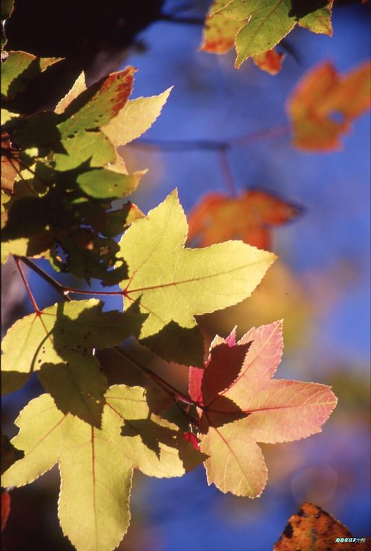秋陽下的武陵楓