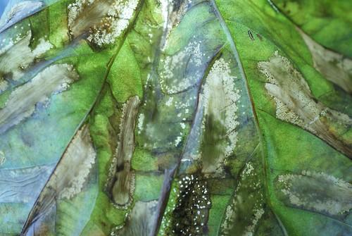 Phyllonorycter platani leaf mines - underside