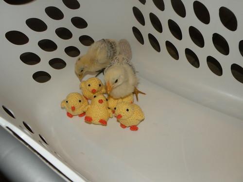 Chick photo 5