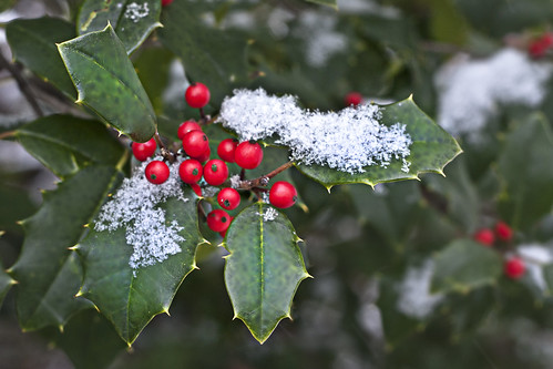 holly cluster