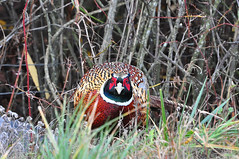 Pheasant, Quail & Turkey