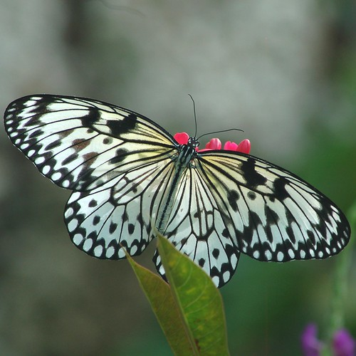 Legs holding onto red flower are visible through transparent Paper Kite butterfly by jungle mama