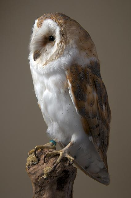 Barn owl by Phillip Pilkington, Southport, UK