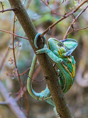 [Free Images] Animals (Others), Reptiles, Chameleons ID:201212130400