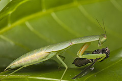 leafhopper(0.0), leaf beetle(0.0), arthropod(1.0), animal(1.0), cricket-like insect(1.0), leaf(1.0), invertebrate(1.0), insect(1.0), macro photography(1.0), grasshopper(1.0), green(1.0), fauna(1.0), close-up(1.0),