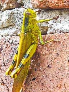 IMG_1831 grasshopper