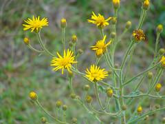 jacobaea vulgaris(0.0), chamaemelum nobile(0.0), flatweed(0.0), macro photography(0.0), prairie(1.0), flower(1.0), yellow(1.0), plant(1.0), sow thistles(1.0), herb(1.0), wildflower(1.0), flora(1.0), sulfur cosmos(1.0), grassland(1.0),