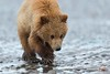 Cautious Approach of Brown Bear Yearling Cub by Glatz Nature Photography