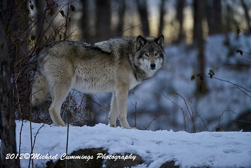 Timber Wolf In Late Evening by Michael Cummings