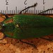 Small photo of Jewel Beetle (Steraspis calida)