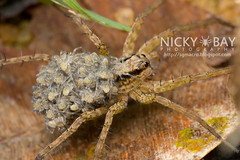 Wolf Spider (Lycosidae) - DSC_1861