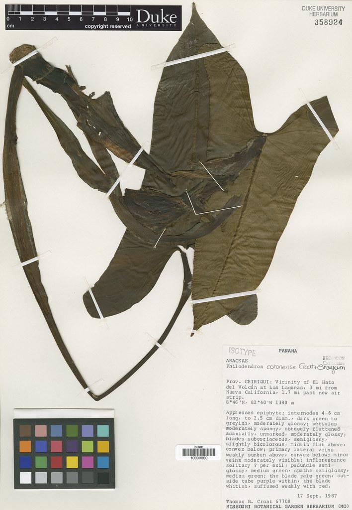 Araceae_Philodendron cotonense