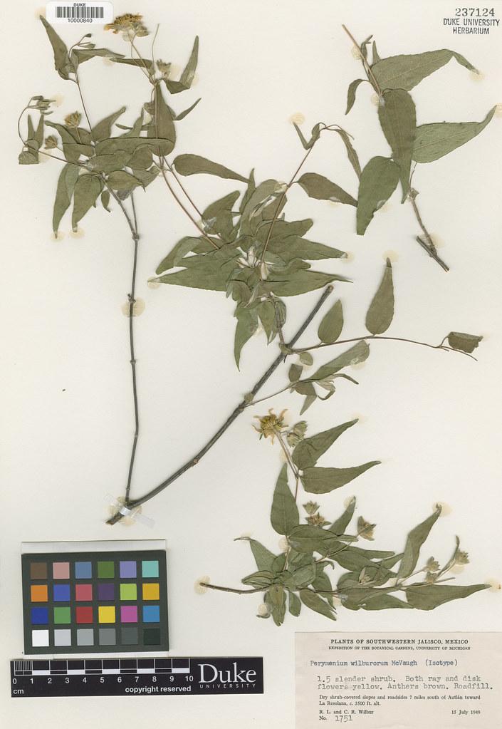Asteraceae_Parymenium wilburorum