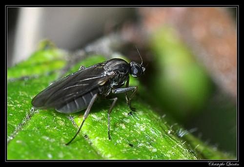 Phoridae (Gymnophora sp. ?)