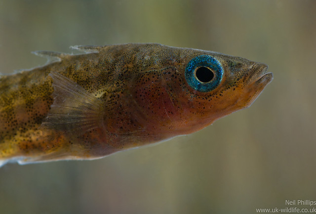 stickleback male close up 2