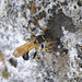 Small photo of Sceliphron destillatorium. Sphecidae