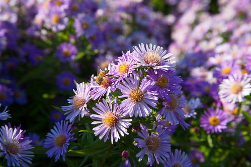 Asters and honey bees by The Bacher Family
