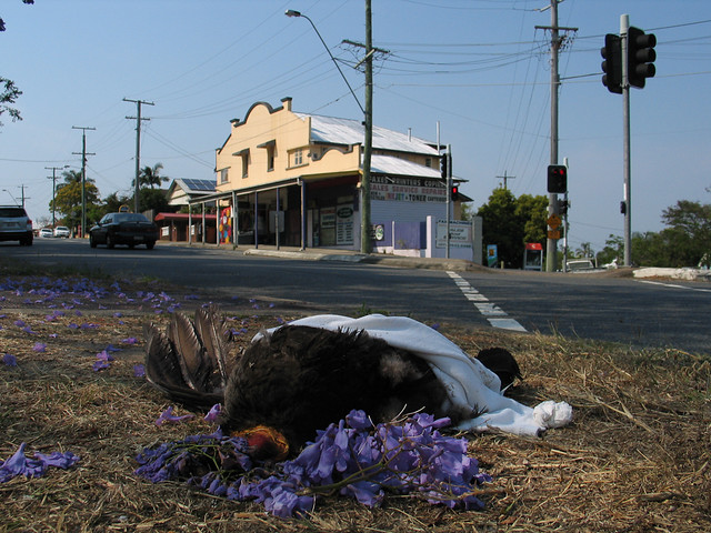 Turkey roadkill...and someone moaned with Jacaranda