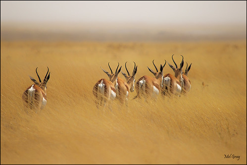 Springbok-on-the-move_IMG7186