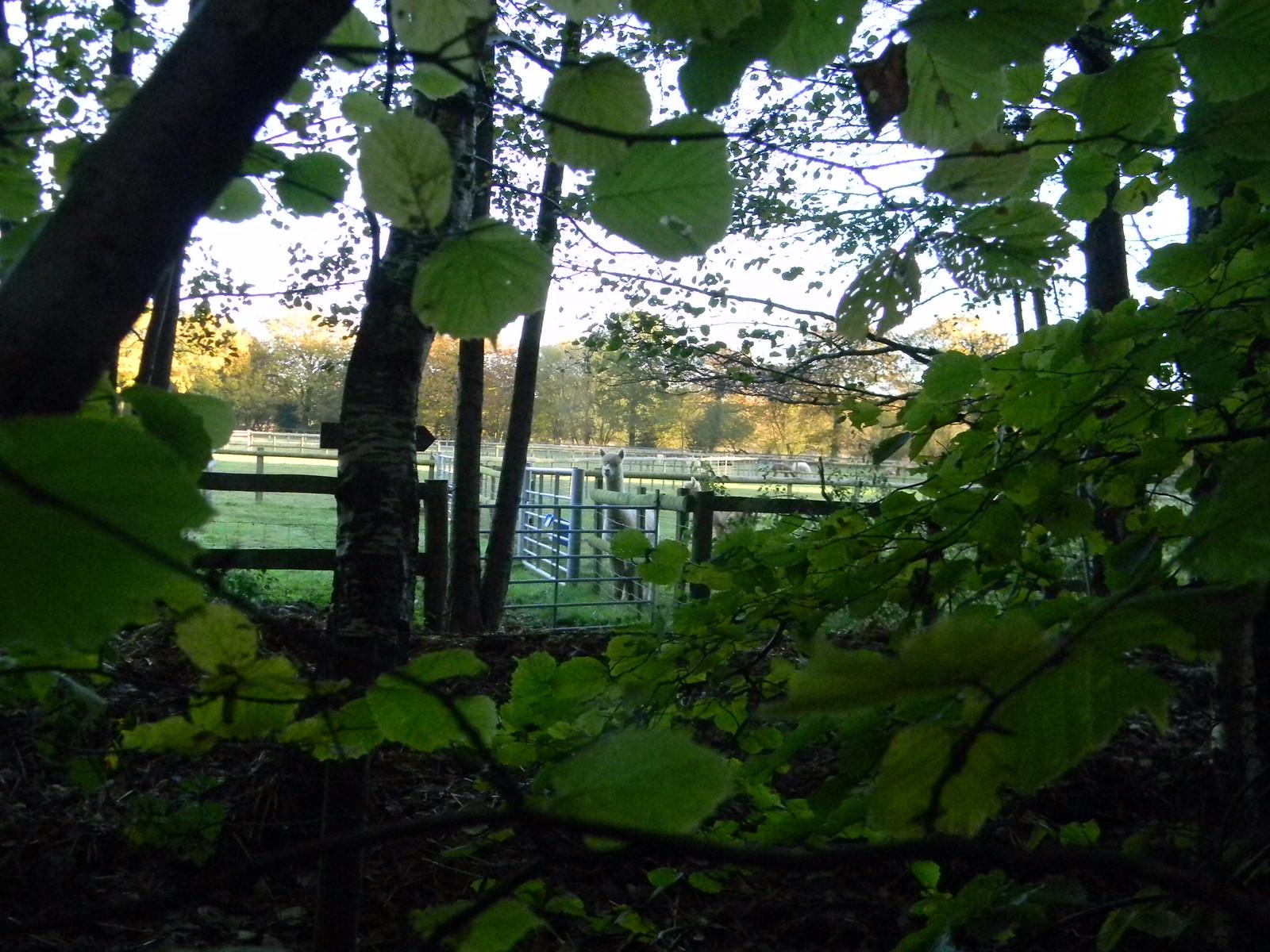 Alpaca stud Crowthorne to Sandhurst (avoiding Eversley)