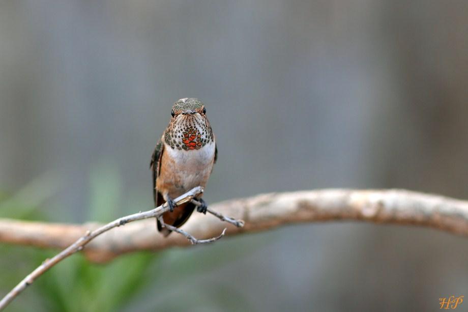 Allen's Hummingbird 111512