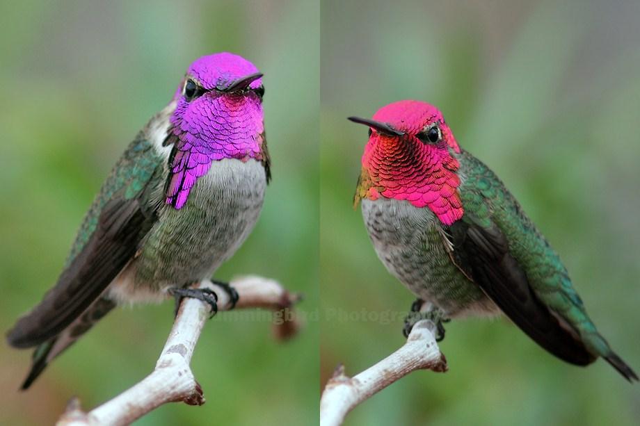 Costa's X Anna's Hummingbird and Anna's Hummingbird 111512