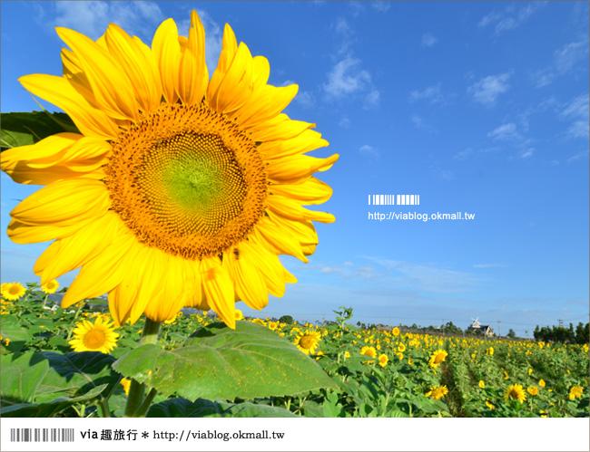 【新社花海2012】2012新社花海節活動介紹及交通資訊8-14