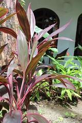 shrub, leaf, ti plant, plant, flora,