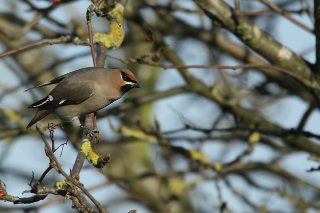 Waxwings- They Came From t'North