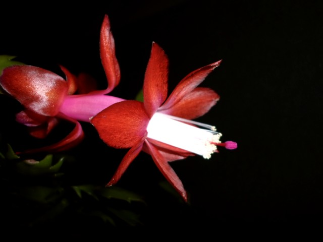 Schlumbergera truncata bloom