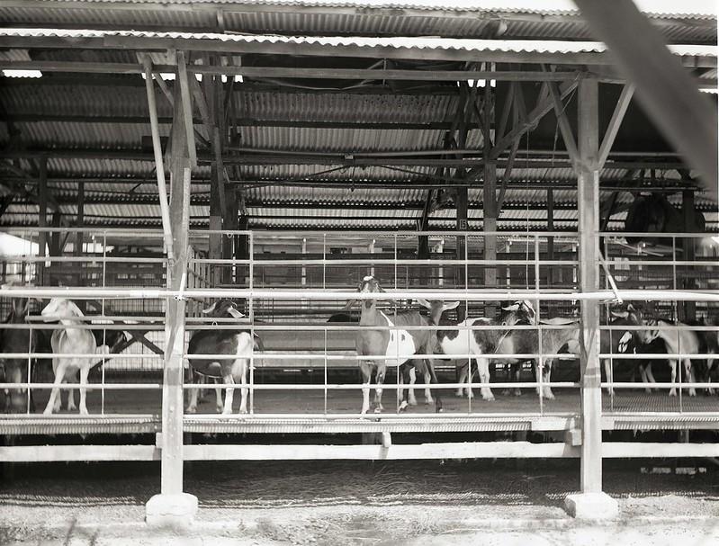 Dairy Goat Farm